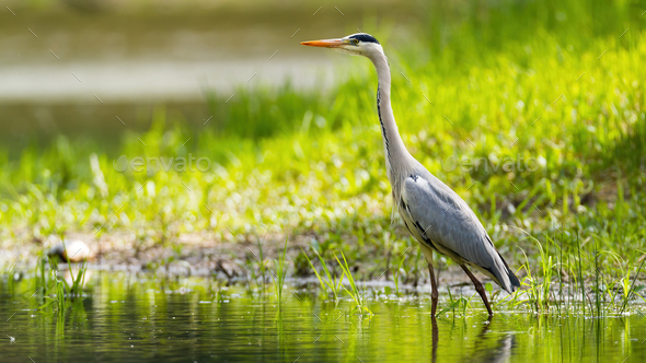 Grey heron wading in water with sunlit grass in background - Stock Photo - Images