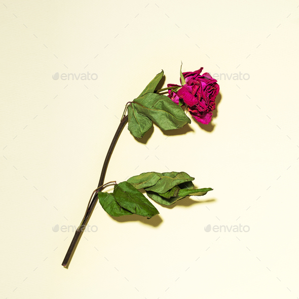 Dry rose with leaves on a yellow background - Stock Photo - Images