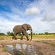 An elephant bull, Loxodontaafricana - PhotoDune Item for Sale