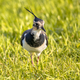 Northern lapwing foraging in grassland Netherlands - PhotoDune Item for Sale