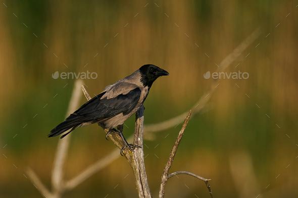 Hooded crow (Corvus cornix) - Stock Photo - Images