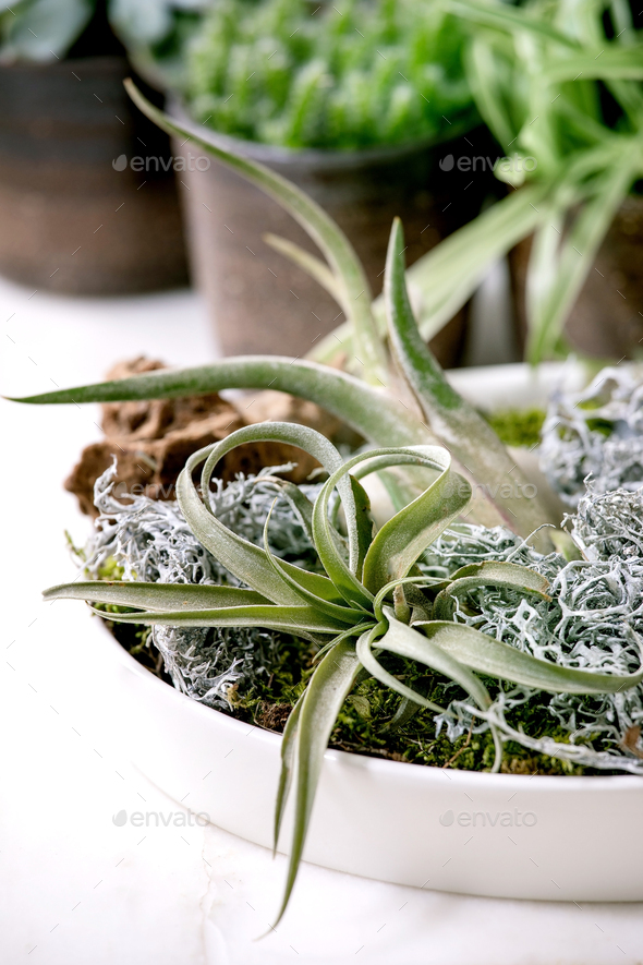 Tillandsia air and different succulent plant in ceramic pots - Stock Photo - Images