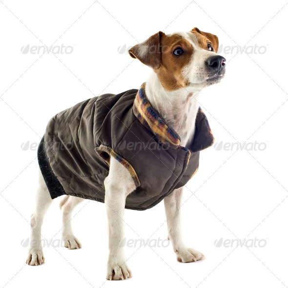 jack russel terrier with coat - Stock Photo - Images