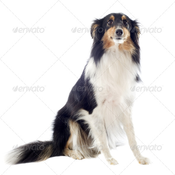 shetland dog - Stock Photo - Images