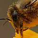 Bee Gathers Pollen - VideoHive Item for Sale