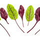 red and green fresh leaves of Chard isolated - PhotoDune Item for Sale