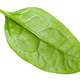 single natural green leaf of Spinach isolated - PhotoDune Item for Sale
