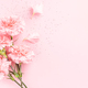 Pink Carnations Flower on Pink Background. - PhotoDune Item for Sale