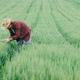 Farm worker inspecting green wheat crop development in field - PhotoDune Item for Sale