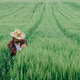 Agronomist examining green wheat crop development in field - PhotoDune Item for Sale