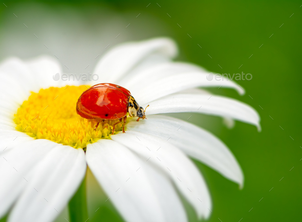 Ladybug on a white daisy flower - Stock Photo - Images