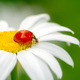 Ladybug on a white daisy flower - PhotoDune Item for Sale