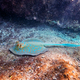 Blue spotted Stingray on sand bootom in the Red Sea - PhotoDune Item for Sale