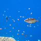 Picasso fish on a coral reef in the Red Sea - PhotoDune Item for Sale