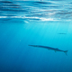 Lonely needlefish hunting on a coral reef - PhotoDune Item for Sale