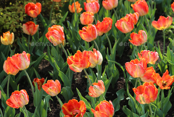 Beautiful bright tulips in the sunlight - Stock Photo - Images