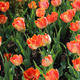 Beautiful bright tulips in the sunlight - PhotoDune Item for Sale