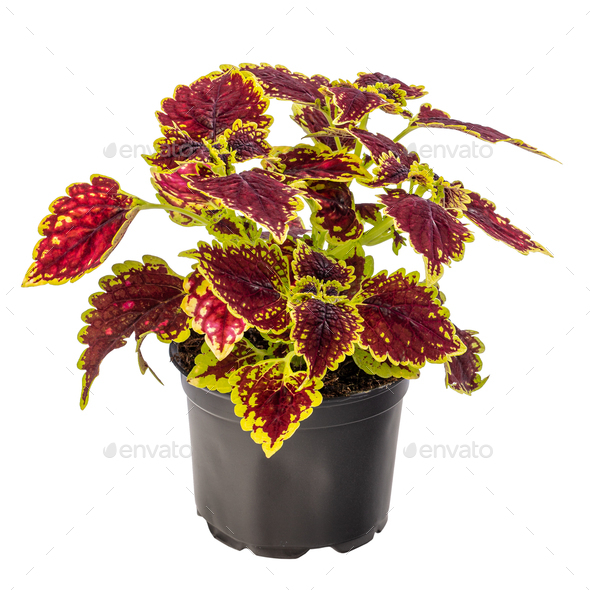 Colorful coleus houseplant - Stock Photo - Images