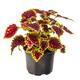 Colorful coleus houseplant - PhotoDune Item for Sale