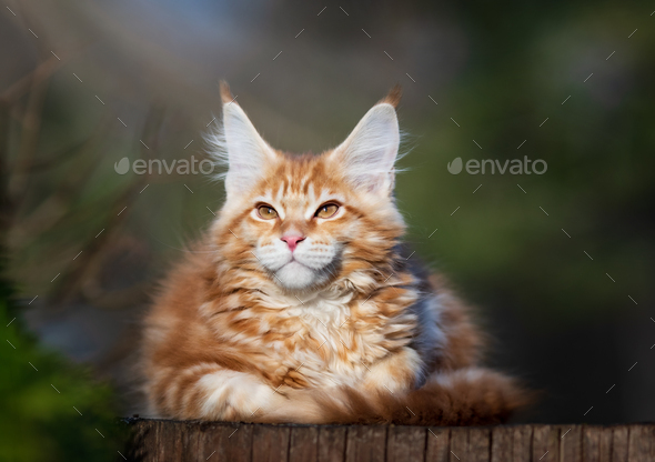 Red spotted Maine Coon kitten. - Stock Photo - Images