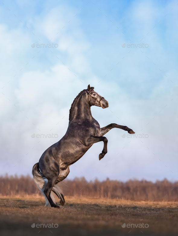 Gray Andalusian horse rear on meadow with overcast skies - Stock Photo - Images