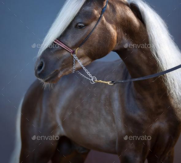 Portrait on blue background of silver-black American Shetland Pony. - Stock Photo - Images