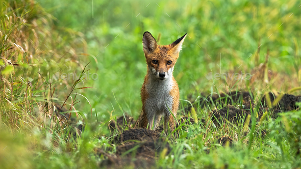 Wet red fox standing on meadow on summer rainy day - Stock Photo - Images