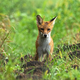 Wet red fox standing on meadow on summer rainy day - PhotoDune Item for Sale