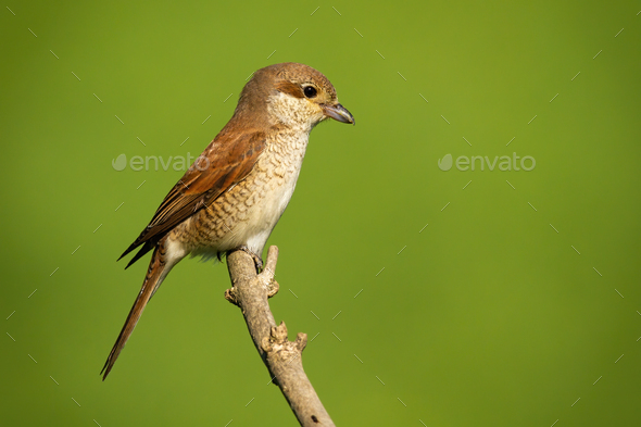 Female red-backed shrike sitting on branch with copy space - Stock Photo - Images