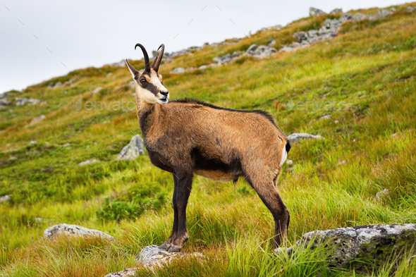 Tatra chamois standing on a hill in mountains in summer nature - Stock Photo - Images