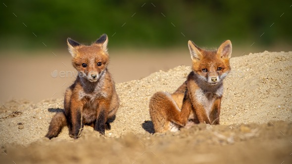 Red fox siblings sitting on a sand in spring sunlight - Stock Photo - Images