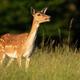 Fallow deer hind calling on green meadow in summer sunlight - PhotoDune Item for Sale