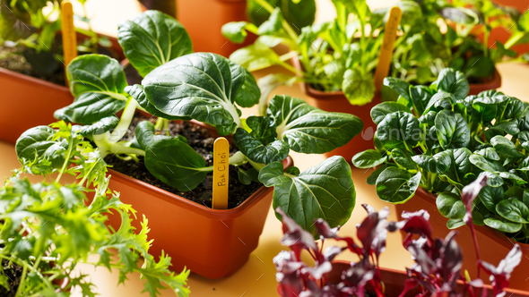 Various young organic greens in containers. Selective focus - Stock Photo - Images