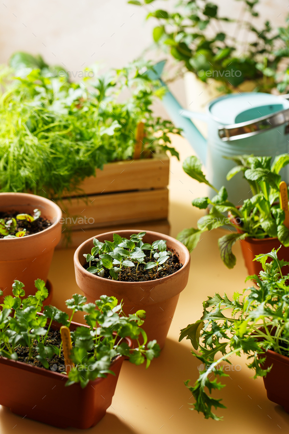 Home growing edible greens and aromatic herbs - Stock Photo - Images