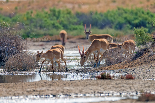 Saiga antelope or Saiga tatarica drinks in steppe - Stock Photo - Images