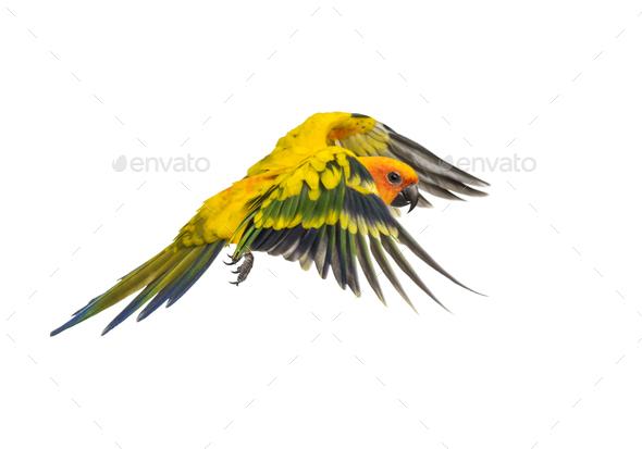 sun parakeet, bird, Aratinga solstitialis, flying, isolated - Stock Photo - Images
