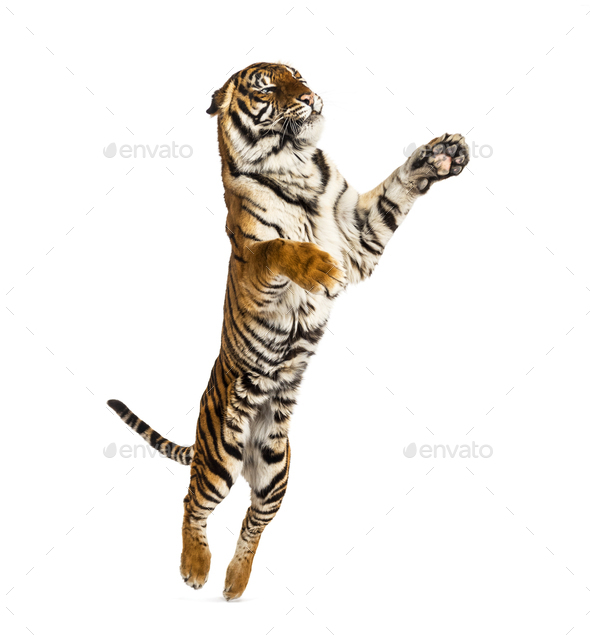 Male tiger jumping, big cat, isolated on white - Stock Photo - Images