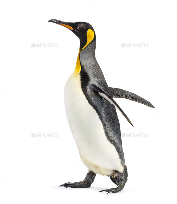 Side view of a king penguin walking, isolated on white - Stock Photo - Images