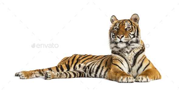 Tiger lying down isolated on white - Stock Photo - Images