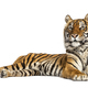 Tiger lying down isolated on white - PhotoDune Item for Sale