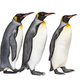 King penguin - PhotoDune Item for Sale