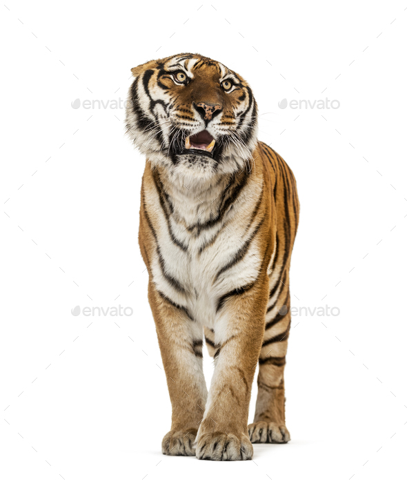 Tiger - Stock Photo - Images