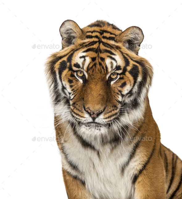 Tiger isolated - Stock Photo - Images