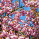 pink flowers are blooming on trees - PhotoDune Item for Sale
