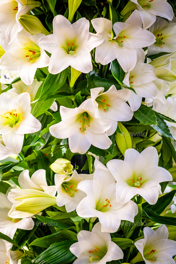Bouquet of white lilies. Beautiful white lilies - Stock Photo - Images