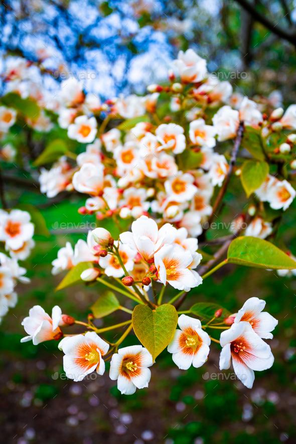 white flowers tree aleurites euphorbiaceae in the spring - Stock Photo - Images