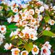 white flowers tree aleurites euphorbiaceae in the spring - PhotoDune Item for Sale