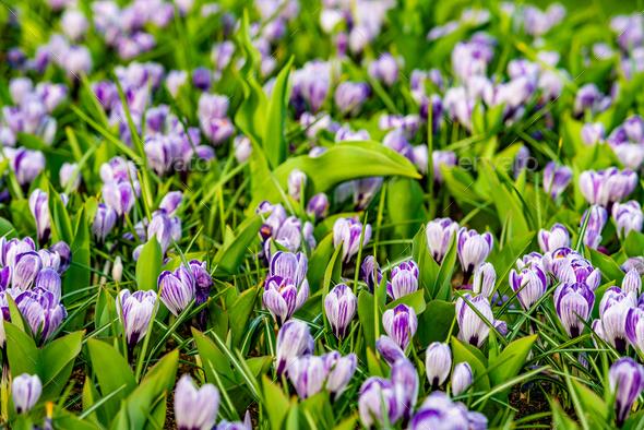 Crocus Field. crocus flowering in the early spring garden. - Stock Photo - Images