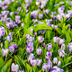 Crocus Field. crocus flowering in the early spring garden. - PhotoDune Item for Sale