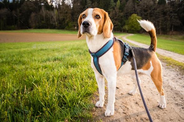 Dog portrait back lit background. Beagle on rural path - Stock Photo - Images